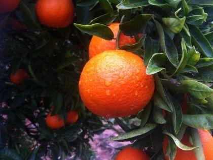 ahora ya ha empezamos con las clementinas tardías