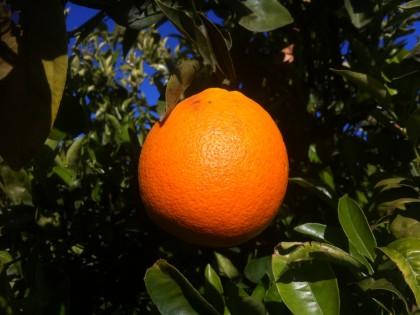 Naranjas maria teresa aut ntica naranja valenciana del - Naranjas del arbol a la mesa ...
