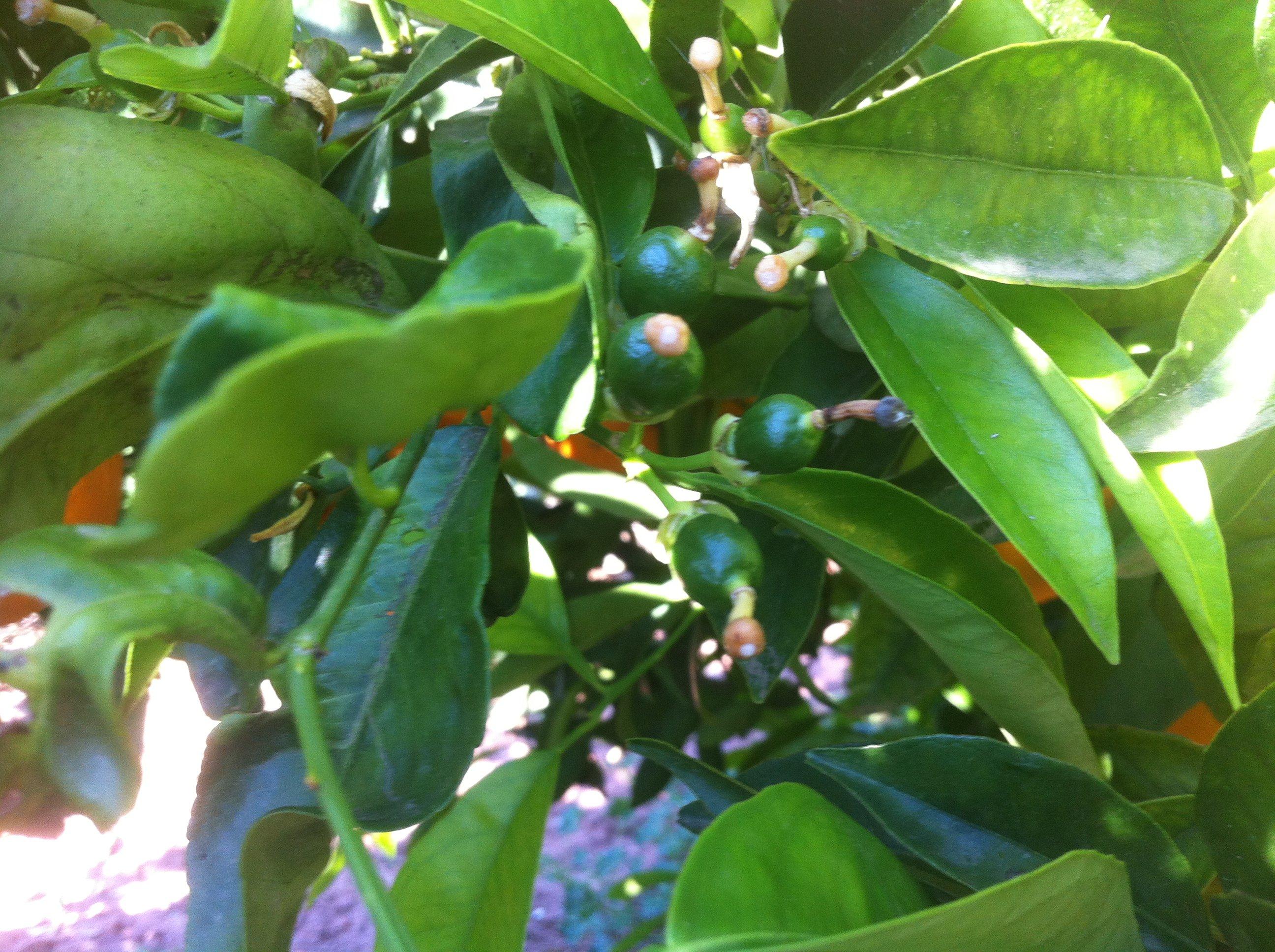 Fruto recién cuajado de Navel Powell