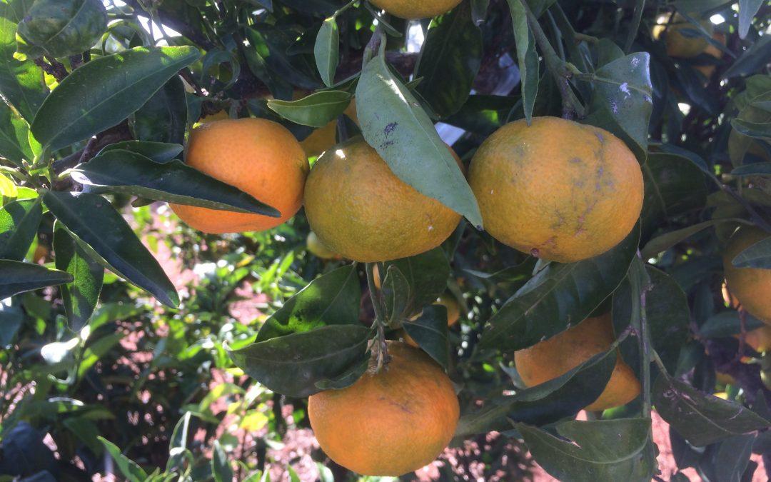 "mandarina ""arrufatina"""